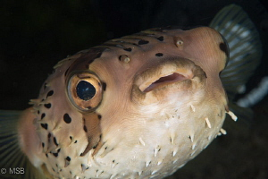 Long-spined porcupinefish. by Mehmet Salih Bilal