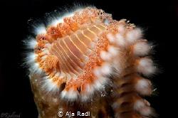 Bearded Fireworm by Aja Radl