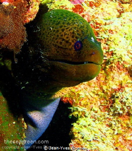 Moray eel Pointe Aux Canoniers,Mauritius by Jean-Yves Bignoux