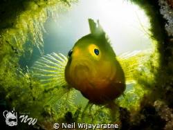 A whole new world .... Lemon Goby by Neil Wijayaratne