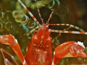 Red Snapping Shrimp (Alpheus armatus) by Brad Ryon