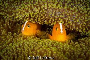 Hide and seek.  Two inquisitive anemone fish peeking out ... by Jeff Lafrenz