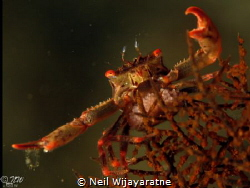 Crab, acting light a traffic police . by Neil Wijayaratne