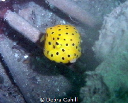 Yellow Boxfish Pipeline Pt Stevens by Debra Cahill