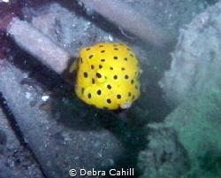 Yellow Boxfish Pipeline Pt Stevens by Debra Cahill