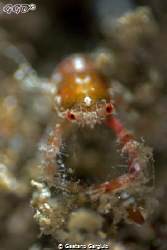 Squat lobster in a sponge. taken with a 20mm reversed 5:1... by Gaetano Gargiulo