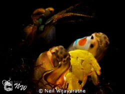 Mantis shrimp showing off its colours by Neil Wijayaratne