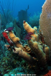 Pillar Corals - BVI - Normand Island - The Indians by Joao Batista Cabral Junior