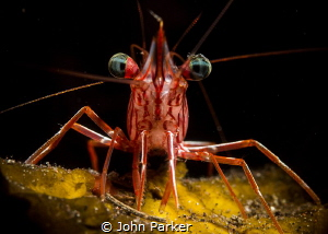Red Shrimp by John Parker