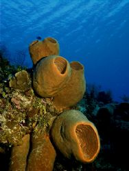 Huge Barrel Sponges of Cozumel. This photo was taken late... by Steven Anderson