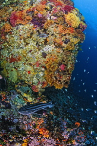 ~ Just a Pajama Shark ~ And a lively colourful reef. by Geo Cloete