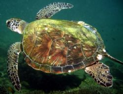 Turtle at Dibba Rock by Nicky Bowker