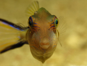 Sharpnose Puffer (Canthigaster rostrata) by Brad Ryon