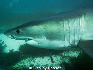 Great White Shark, Neptune Islands South Australia. No st... by Shelley Hooper