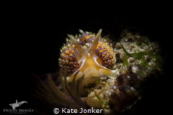 A four-coloured nudibranch photographed at Long Beach in ... by Kate Jonker