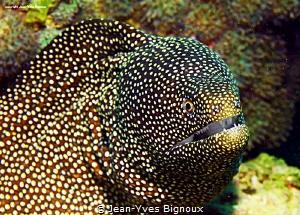 Moray Eel/Muraenidae Mauritius Trou Aux Biches Jean-Yves... by Jean-Yves Bignoux