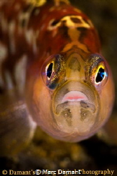 A glowing close up of a Longfin Gunnel. 100mm macro on Ca... by Marc Damant