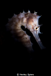 Thorny Seahorses Love Muck by Henley Spiers
