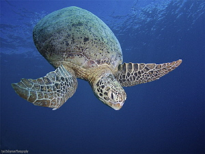 Turtle into the blue 