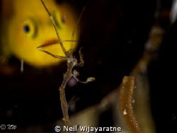 A yellow lemon goby looking at a skeleton shrimp by Neil Wijayaratne