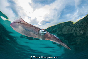 'Head In The Clouds' - A squid swims by in shallow water ... by Tanya Houppermans
