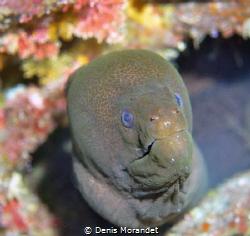 Giant moray by Denis Morandet