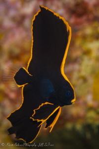Juvenile Batfish struttering her stuff by Jeff Lafrenz