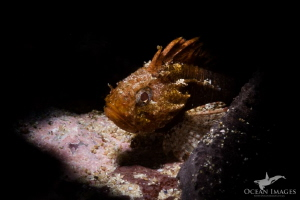 Tiny Smoothskin Scorpion Fish, Ark Rock, Simon's Town Sou... by Kate Jonker