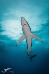Blue Shark, photographed off Cape Point, South Africa.  C... by Kate Jonker