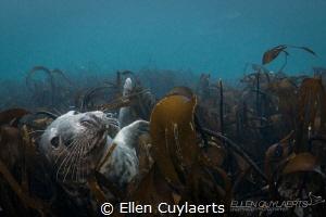 Daydream Grey seal lying in the kelp Farne islands by Ellen Cuylaerts