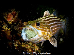 Cardinal fish taking care of the eggs by Neil Wijayaratne