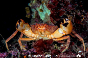 Red Crab by Marco Gargiulo