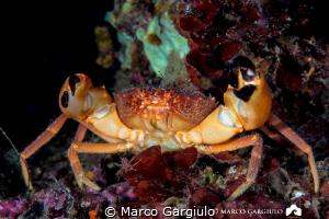 Red Crab by Marco Gargiulo