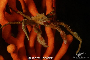 Hotlips Spider Crab on Sinuous Sea Fan.  Canon 7dmkii, Ca... by Kate Jonker