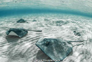 'We Are Family' - 7 southern stingrays glide over the sea... by Tanya Houppermans