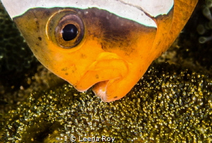 Anemone fish and eggs by Leena Roy