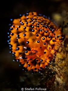 Redonkulous ... !  Nudibranch - Janolus sp.  Bali, In... by Stefan Follows