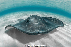 'Southern Hospitality' - A southern stingray stops by for... by Tanya Houppermans