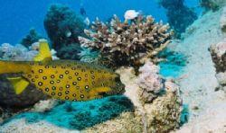 Yellow Boxfish, El Quesir, Canyon, Red Sea, Egypt. Taken ... by Peter Fields