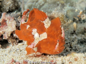 frogfish by Rudy Janssen