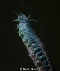 This beautiful metallic blue Polychaete (Neanthes Virens)... by Martin Gombrii