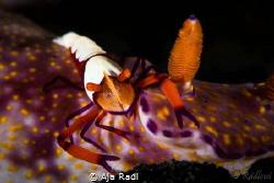 Hitchhiking Emperor Shrimp! by Aja Radl