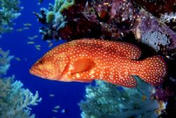 Coral Trout. Shot with Nikon F4. A beautiful fish is prim... by Greg Hills