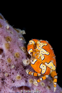 The Inimitable Gaudy Clown Crab by Henley Spiers