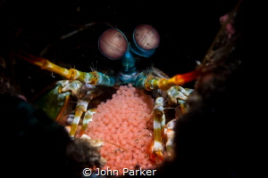 Peacock Mantis Shrimp with eggs by John Parker