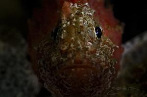~ Eye Spy ~  Juvenile Smooth Skin Scorpion fish. by Geo Cloete