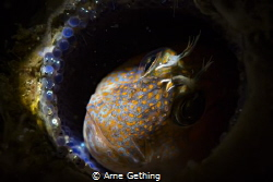 ~ Helicopter Mom ~ Blenny on eggs - False Bay, Cape Town... by Arne Gething