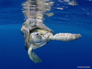Mating Sea Turtles by Iyad Suleyman