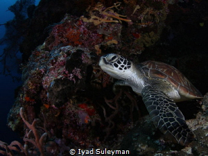 Sea Turtle by Iyad Suleyman