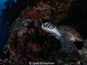 Sea Turtle by Iyad Suleyman